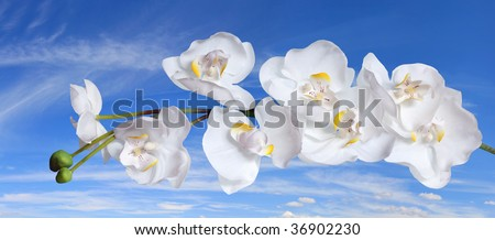 Brilliant white phalaenopsis orchids against background of blue sky and clouds.