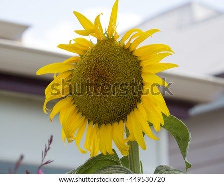 Brilliant  yellow  circular sunflower Helianthus annuus  inflorescence  with rough hairy stems and leaves blooming in late summer  adds a touch of charming beauty to the urban street scape. - stock photo