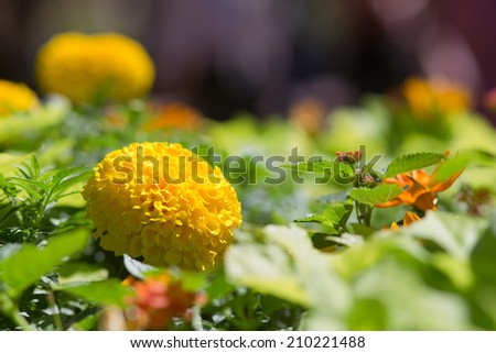 Brilliant Yellow Marigold Flower with Blurred Flowers in Background - stock photo