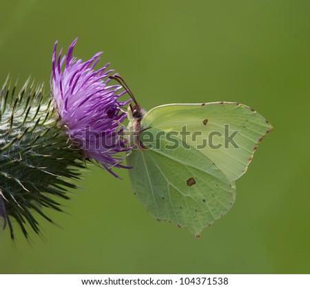 Brimstone Butterfly (Gonepteryx rhamni) - stock photo