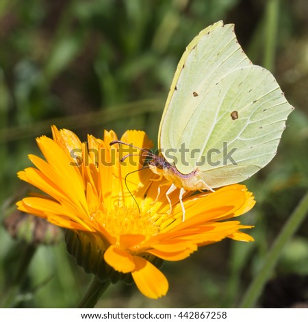 Brimstone butterfly on bright marigold flower. Beautiful detail. Gonepteryx rhamni. - stock photo