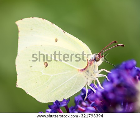 Brimstone butterfly on the blossoms of a buddleia bush - stock photo