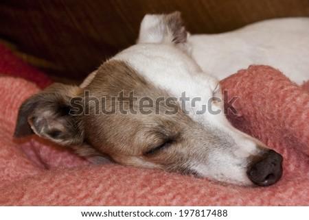 brindle and white italian greyhound sleeping on pink blanket - stock photo