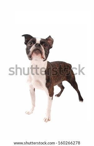 Brindle Boston Terrier dog standing and looking up on a white background - stock photo