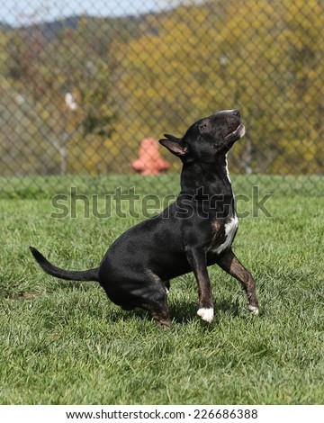 Brindle Bull Terrier getting ready to jump at the park - stock photo