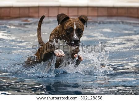 Brindle dog jumping through the water to swim - stock photo