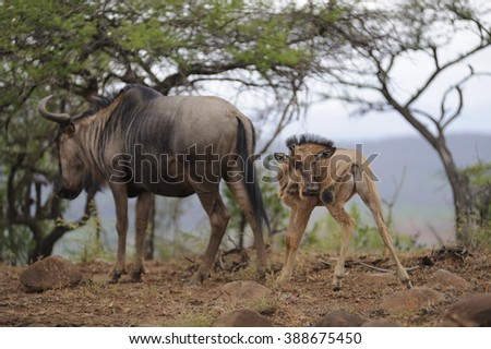 Brindled Gnu (Connochaetes taurinus)  Inquisitive new born calf - stock photo