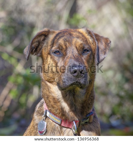 Brindled Plott hound portraits - stock photo
