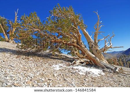 Bristlecone Pine, White Mountains, California - stock photo