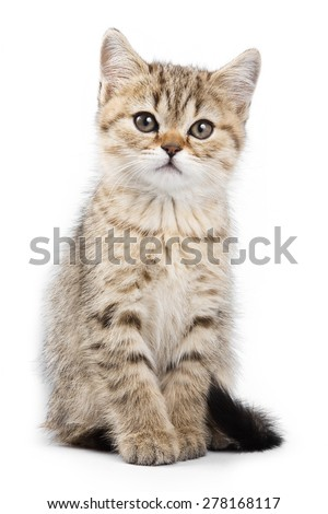 Britan kitten sitting and looking at the camera (isolated on white)