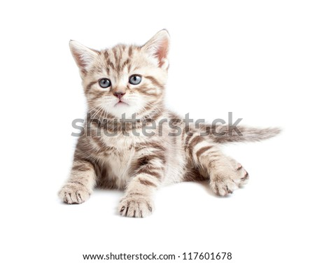 British baby cat or kitten lying isolated - stock photo