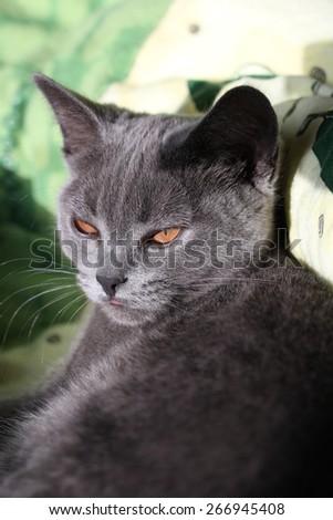 british blue cat - stock photo