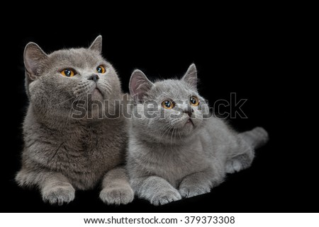 British blue cat and its kitten lying on a black background - stock photo