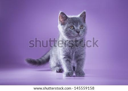 British blue cat breed - stock photo