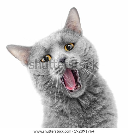 British blue cat on white background