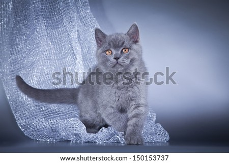 British blue kitten