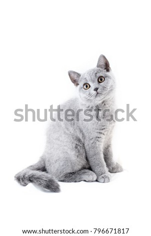 British blue kitten sits on a white background. British Blue Kitten. British blue kitten is very beautiful and cute. British kitten on a white background.
