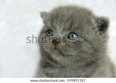 British blue purebred kitten - detail of head