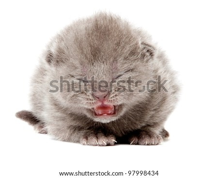 british blue shothair kitten isolated over white background
