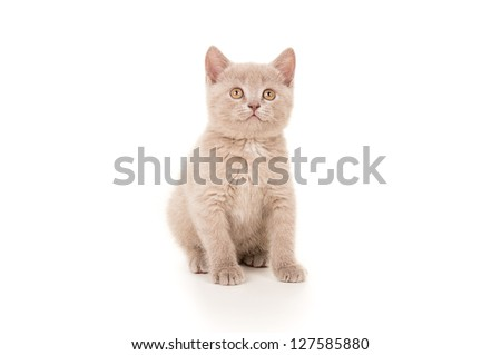 British breed beautiful small kitten