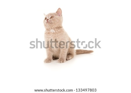 British breed beautiful small kitten isolated on white background