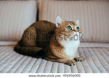British breed Cat Gold Chinchilla color Sitting and Looking up