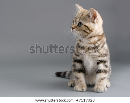 British breed kitten is isolated on grey background. Not isolated.