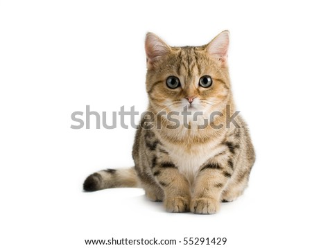 British breed kitten isolated on a white background.