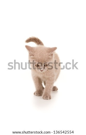 British breed kitten smoky color