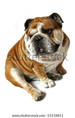 british bulldog on a white background - stock photo