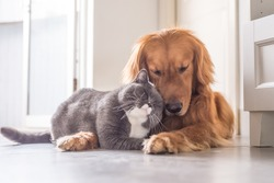 Free cats and dogs stock photos stockvault british cat and golden retriever voltagebd Gallery