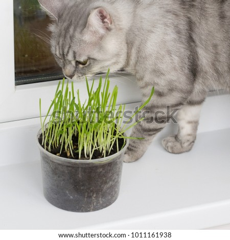 British cat and green grass