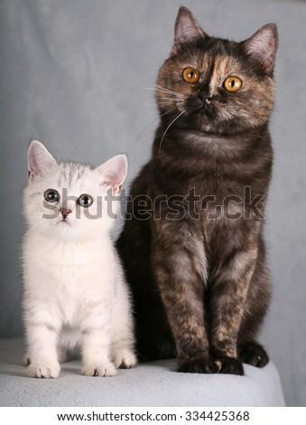 British cat and kitten  - stock photo