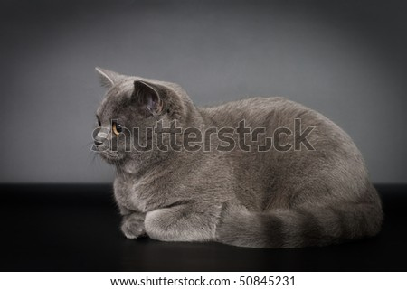 British cat animals feline domestic