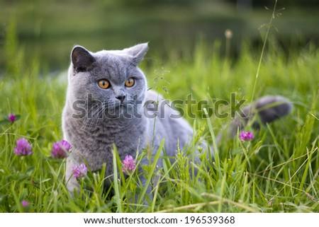 British cat at grass - stock photo