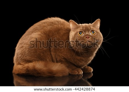 British Cat Cinnamon color Lying and Curious Looking up, Isolated Black Background, Side view - stock photo