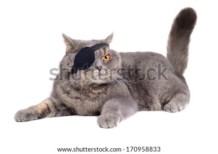 British cat dressing in caribbean pirate costume with eye patch