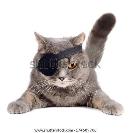 British cat in caribbean pirate costume with eye patch - stock photo