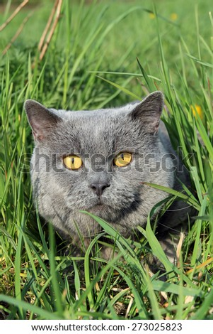 british cat in lush grass