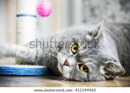 British cat is sleeping on the floor. cat look. Focus on the eyes. vignetting conceived as an artistic effect - stock photo