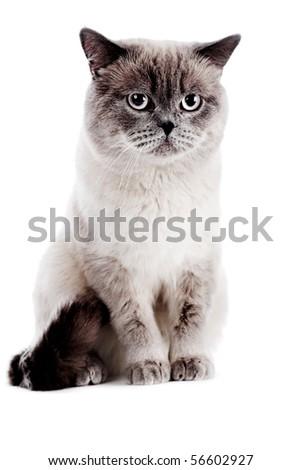 British cat isolated on the white - stock photo