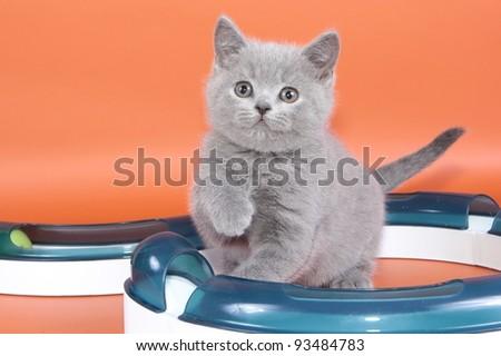 British cat, kitten blau isolated - stock photo