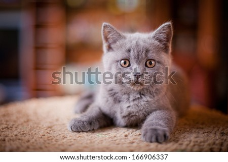 British cat, kitten on a colored background