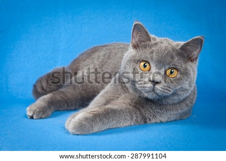 British cat lying and looking at the camera on a blue background - stock photo