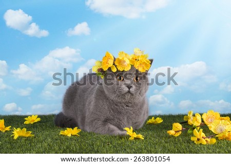 British cat on a summer lawn - stock photo
