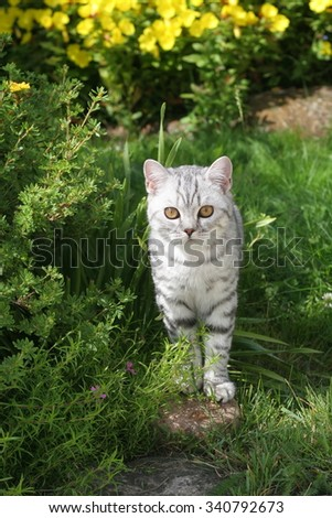 British cat on green meadow