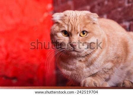 British Cat, portrait cat - stock photo