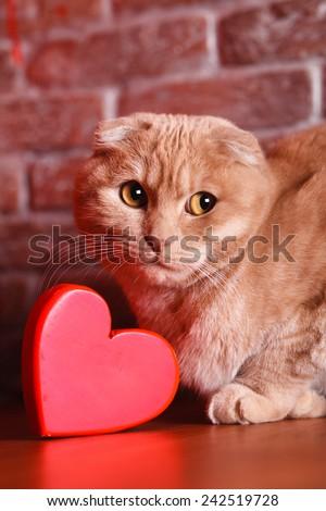 British Cat, portrait cat , Valentine's Day, heart - stock photo
