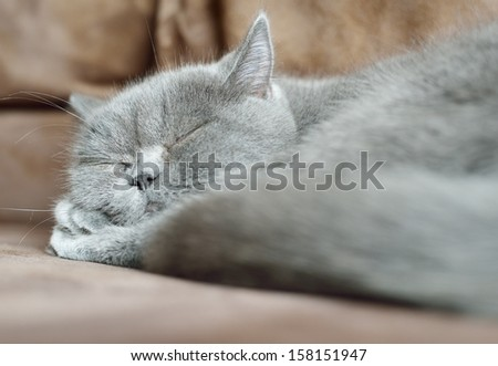 British cat sleeping.