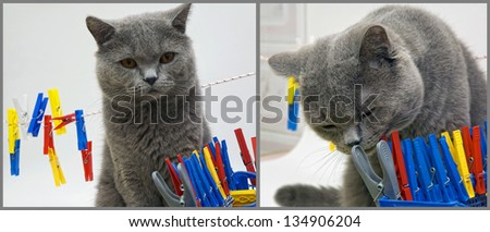 british cat Tom, my assistant and chief inspector. - stock photo
